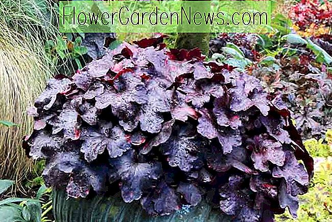 Heuchera 'Galaxy' (Coral Bells)