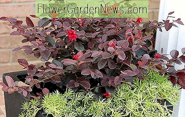 Loropetalum chinense 'Ever Red' (Chinese franjebloem)