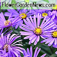 Aster Amellus 'King George', italienische Aster 'King George', italienische Sternblume 'King George', Michaelis Daisy 'King George', Herbst Aster 'King George', Herbst Stauden, Herbst Blumen, Aster King Georges, lila Blüten,