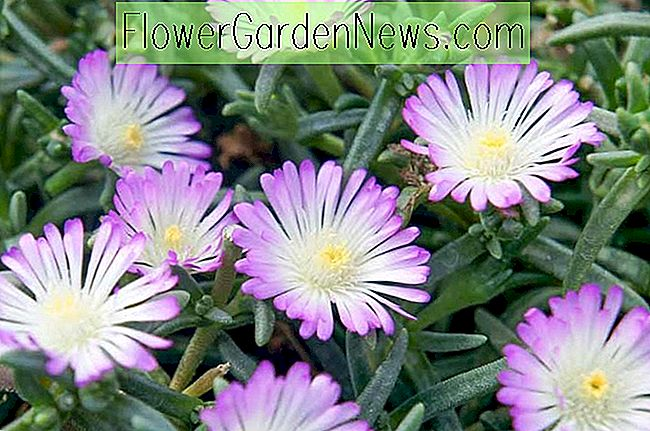 Delosperma 'Wheels of Wonder - Violet Wonder' (Eispflanze)
