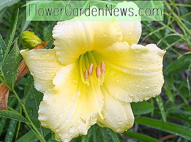 Hemerocallis 'Fragrant Returns' (Reblooming Daylily)