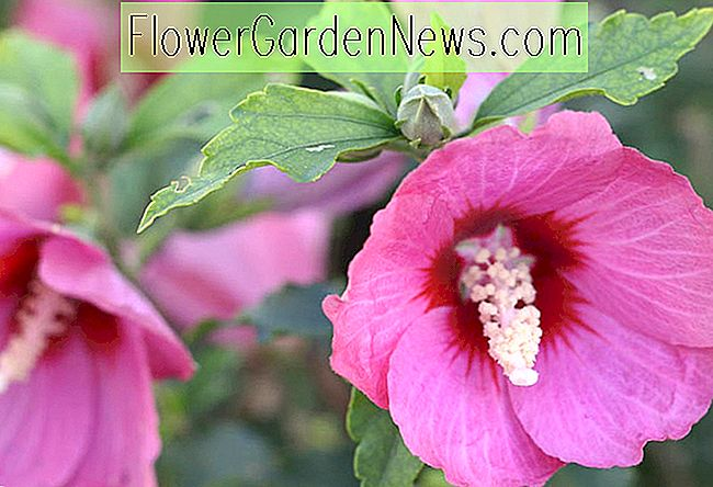 Hibiscus syriacus 'Lil' Kim Red '(Rose von Sharon)