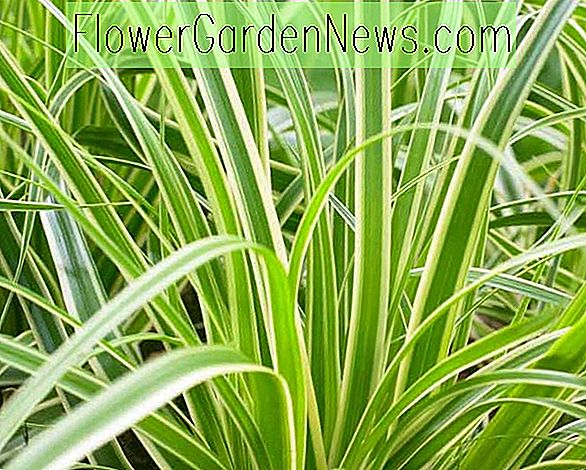 Carex oshimensis 'Evercream' (Japanese Sedge)