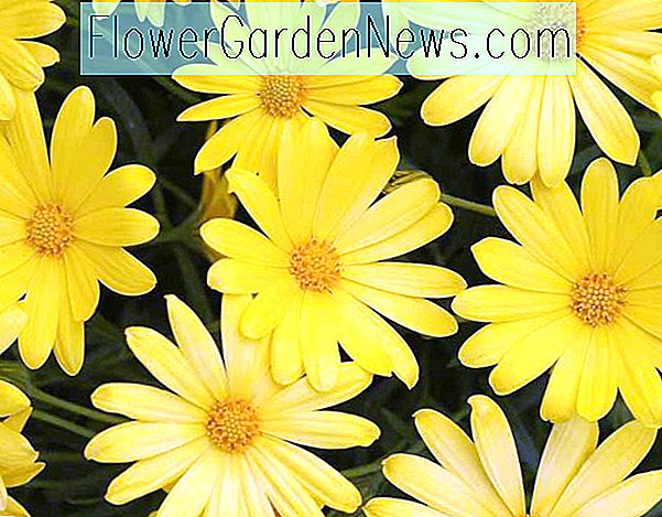 Osteospermum 'Voltage Yellow' (Afrikaanse Daisy)
