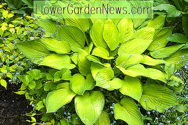 Hosta 'Gold Standard' (Plantain Lily)
