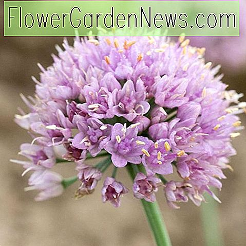 Allium senescens 'Blue Eddy' (Ornamental Allium)