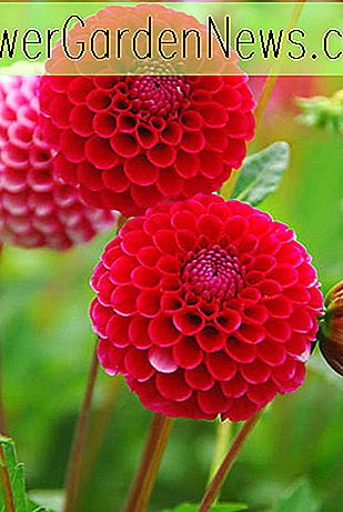 Dahlia 'Kleiner William'