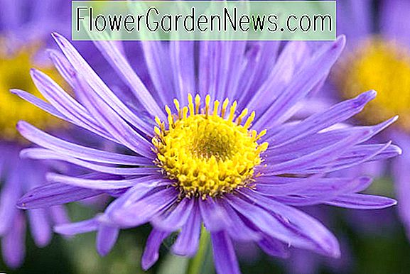 Aster amellus 'Grunder' (Asters italianos)