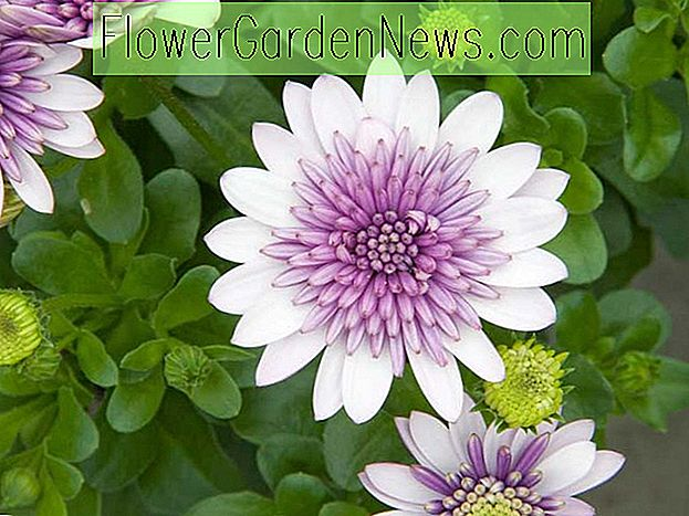 Osteospermum '4D Violet Ice' (African Daisy)