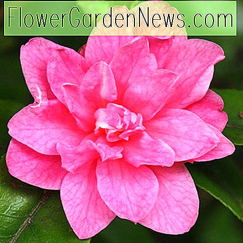 Camellia 'Fragrant Pink', 'Fragrant Pink' Camellia, Winter Blooming Camellias, Spring Blooming Camellias, Fragrant Camellias, Camellia's in het vroege en middenseizoen, Roze bloemen, Roze camelia's