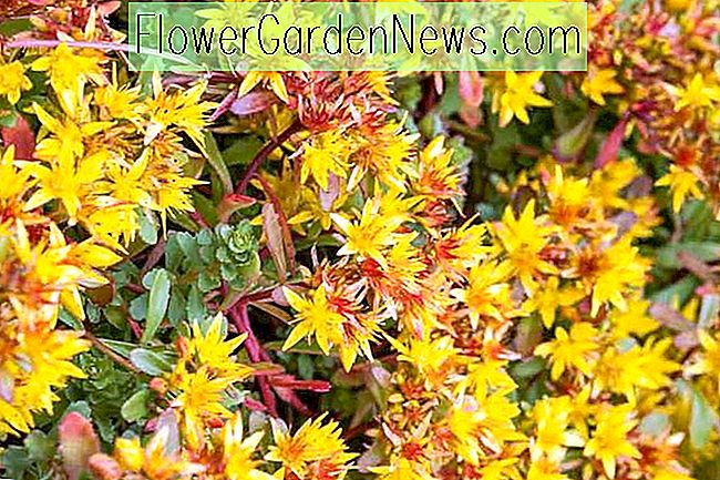 Sedum kamtschaticum var.  floriferum 'Weihenstephaner Gold' (Orange Stonecrop)