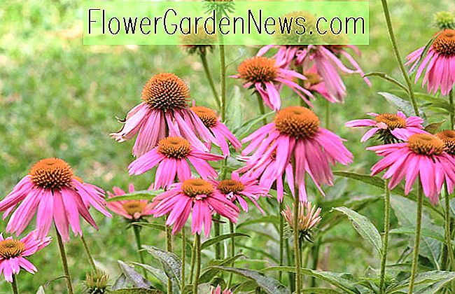 Echinacea purpurea 'Kim's Knee High' (Coneflower)