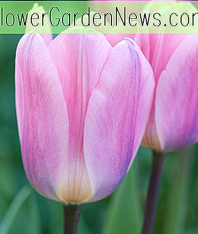 Tulipa 'Light And Dreamy' (Darwin Hybrid Tulip)