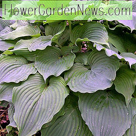Hosta 'Komodo Dragon' (Plantain Lily)