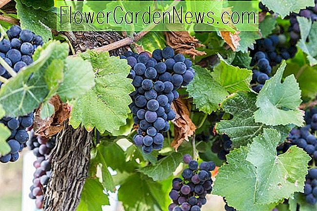 Vitis labrusca 'Concord' (Grape Vine)