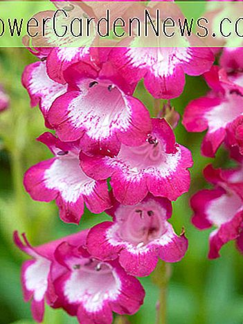 Penstemon 'George Home' (Bartfaden)