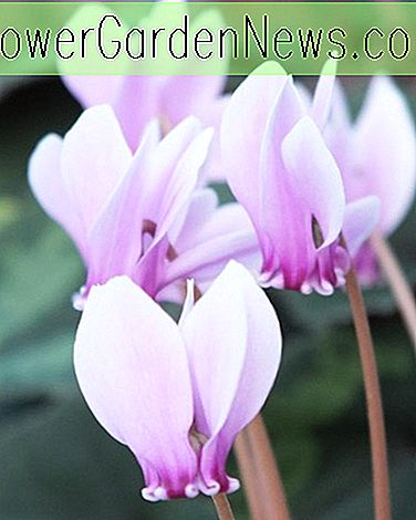 Cyclamen hederifolium (Ivy-Leaved Cyclamen)