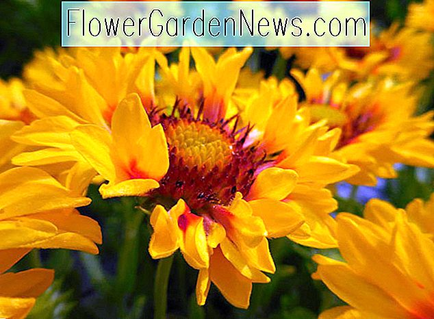 Gaillardia 'Sunset Sunrise', Blanket Flower 'Sunset Sunrise', Gaillardia x Grandiflora 'Sunset Sunrise', Blanket Flowers, Gelbe Blumen, Bicolor Flowers, Trockenheit tolerant Blumen, Salztolerante Blumen
