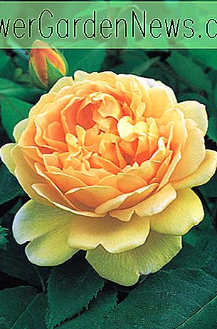 Rose Golden Celebration, Rosa 'Golden Celebration', Engels Rose 'Golden Celebration', David Austin Roses, Engelse rozen, gele rozen, struikrozen, rozenstruiken, tuinrozen, zeer geurige rozen