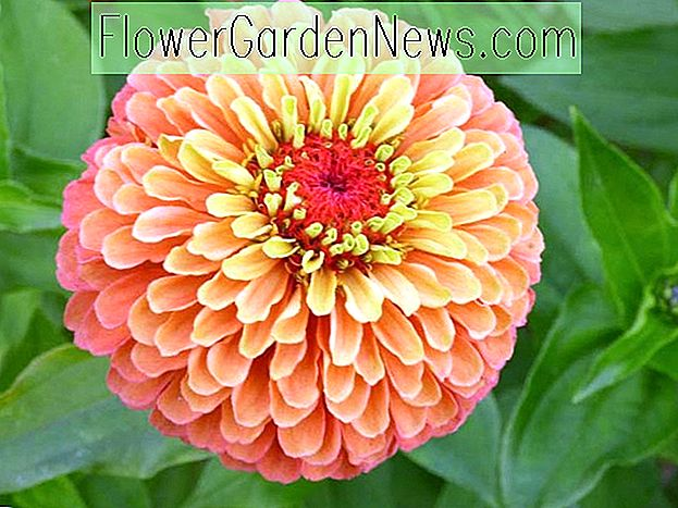 Zinnia elegans 'Queeny Lime Orange'
