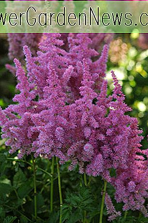 Astilbe 'Stand and Deliver'