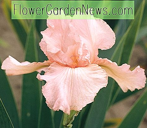 Iris 'Pink Attraction' (Reblooming Bearded Iris)