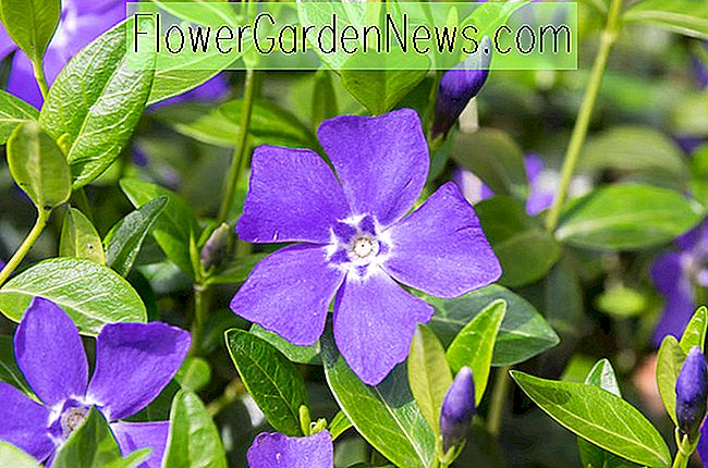 Vinca minor 'Bowles sortiment' (periwinkle)
