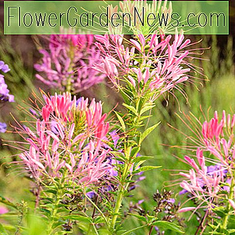 Cleome hassleriana (Spinnenblume)