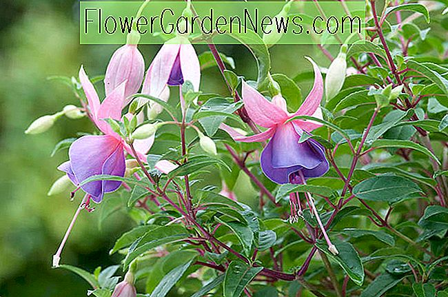 Fuchsia 'Border Queen'