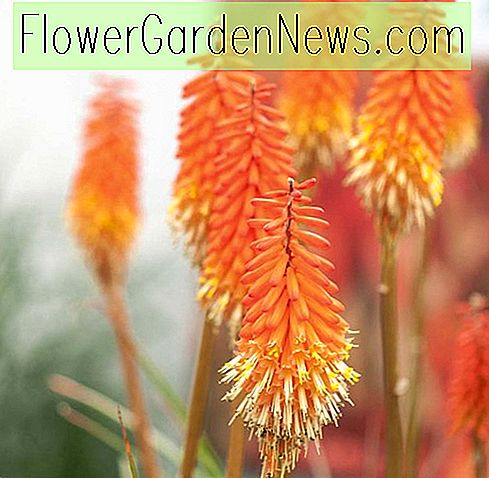 Kniphofia 'Alcazar' (Red Hot Poker)