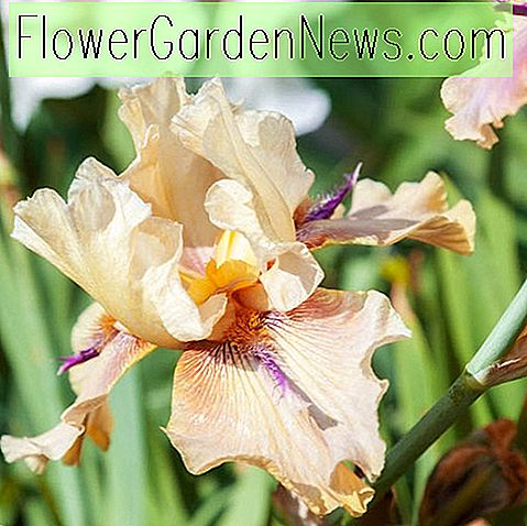 Iris 'Thornbird' (Bearded Iris)