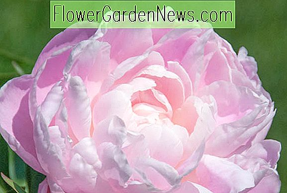 Paeonia lactiflora 'Mrs.  Franklin D. Roosevelt '(Peony)