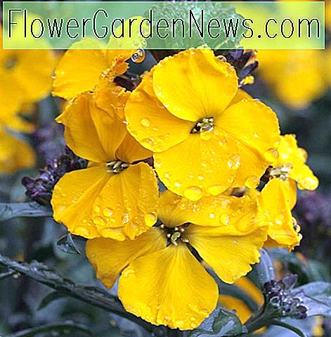 Erysimum 'Walberton's Fragrant Sunshine' (Wallflower)