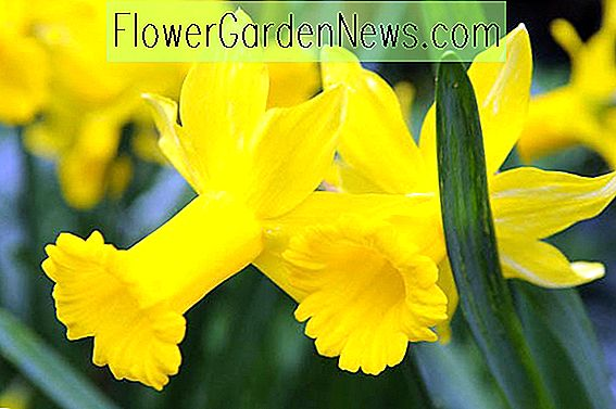Narciso 'Peeping Tom' (Cyclamineus Daffodil)