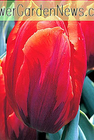 Tulipa 'Fire Queen' (Single Early Tulip)