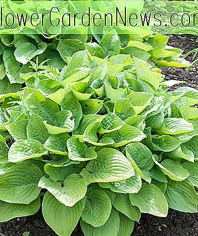 Hosta 'August Moon' (Wegerich Lilie)