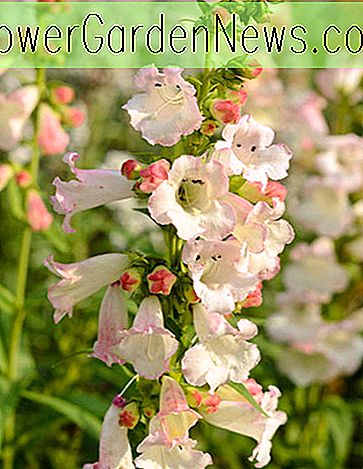 Penstemon 'Apple Blossom' (Beardtongue)