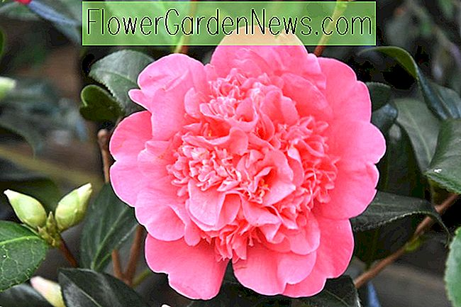 Camellia x williamsii 'Erwartung'
