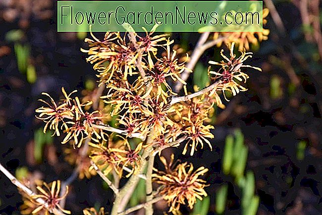 Hamamelis x intermedia 'Harry' (Zaubernuss)