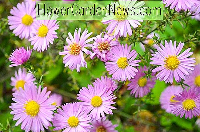 Aster 'Woods Pink', New York Aster 'Woods Pink', Michaelis Daisy 'Woods Pink', Symphyotrichum 'Woods Pink', Pink Aster, Aster Dumosus 'Woods Pink'
