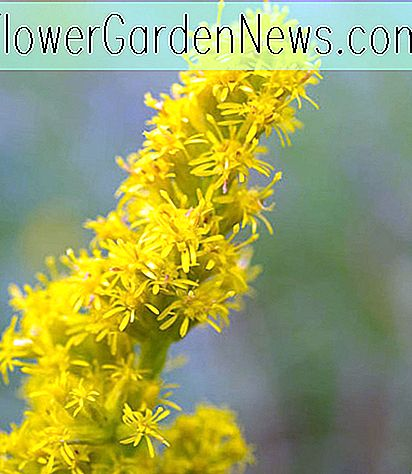 Solidago sphacelata 'Golden Fleece' (Vara de oro)
