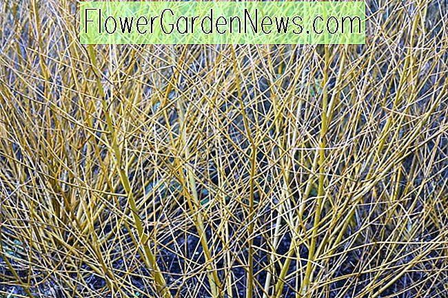 Salix alba var.  vitellina 'Golden Ness' (Golden Willow)