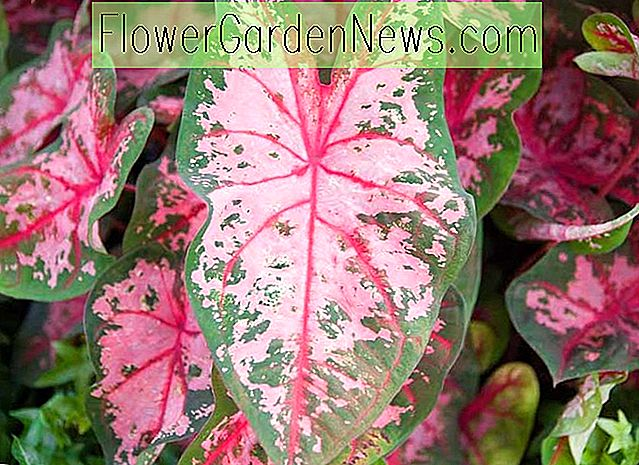 Caladium 'Carolyn Whorton' (Angel Wings)