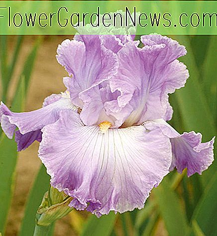 Iris 'Twilight Rapture' (Bearded Iris)