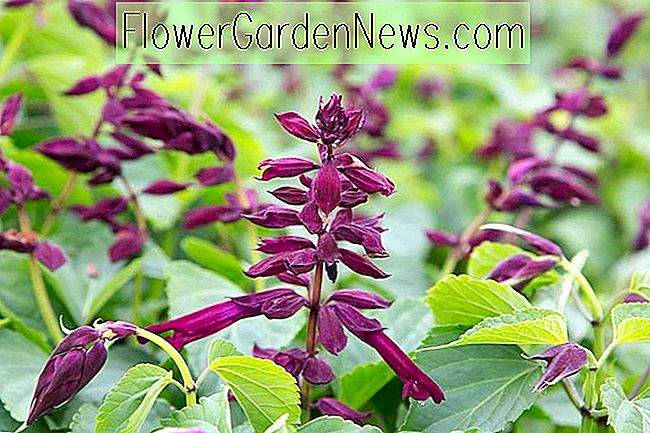 Salvia Splendens 'Saucy Wine' (Scarlet Sage)