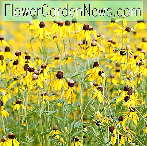 Ratibida pinnata (Yellow Coneflower)