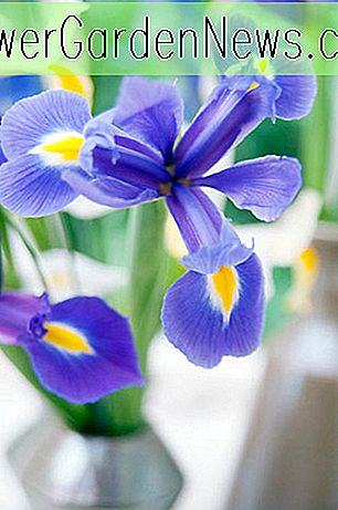 Iris hollandica 'Blue Magic' (Holländische Iris)