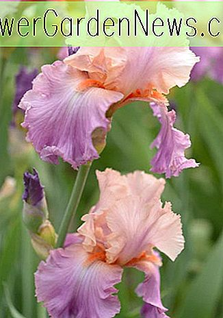 Iris 'Celebration Song' (Schwertlilie)