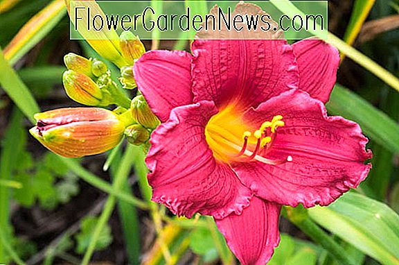 Hemerocallis 'Little Business' (Reblooming Daylily)