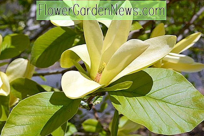 Magnolia 'Solar Flair'